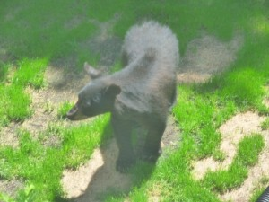 Black Bear UAT20140600479